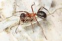 Narrow-headed Ant (Formica exsecta) climbing Birch tree. South Devon, UK. May.