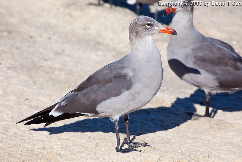 Heermann's Gull, Sea of Cortez, Baja, Mexico
