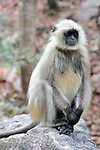 Gray Langur, Ranthambhore National Park; Rajasthan