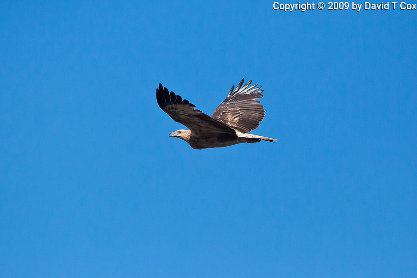 White-Bellied Sea-Eagle immature, Woody Head, BundjalungNP, NSW, Australia