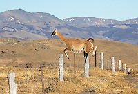 Guanacos are ubiquitous in and around Torres del Paine.  Fences are no obstacle for them.