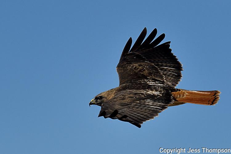 Red-tailed Hawk, Texas roadside near Fort Davis