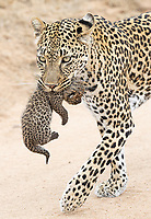 We were fortunate to witness a female leopard moving her (1-2 week old?) cubs to a new den site at MalaMala. Eleven years prior, Jenn and I had see another leopard moving her cub at MalaMala, so this was pretty special for us to witness again.