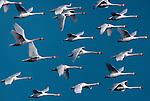 Mute swans, Russia (Digital Composite)