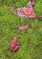 Near Dalat, Vietnam a Frog resting on the green forrest floor.