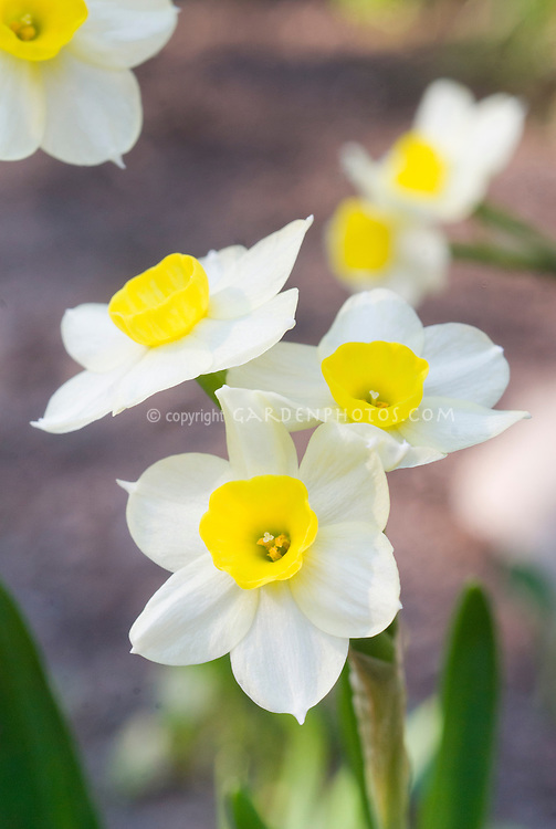 Narcissus daffodil Minnow, small flowered spring bulbs, multifloral type