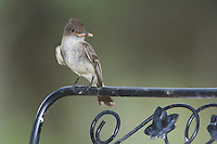 Eastern Phoebe, Sayornis phoebe, adult, Hill Country, Texas, USA, April 2007