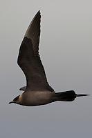 Schmarotzer-Raubmöwe, Schmarotzerraubmöwe, dunkele Morphe im Flug, Flugbild, Raubmöwe, Stercorarius parasiticus, Parasitic Jaeger, Arctic Skua, Parasitic Skua