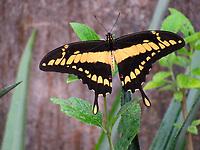 Borboleta da família Papilionidae é uma caixão-de-defunto Papilio ou Heraclides thoas brasiliensis.