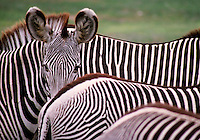 African, wild animal. A group of zebras stand close together so that they are joined forming a very attractive black and white striped pattern. Masai Mara, Kenya Masai Mara Plains.