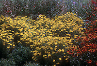 Coreopsis verticillata & Helenium, perennial flowers combination in hot colors GR525