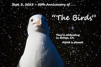 """A gull, a villan in Alfred Hitchcock's """"The Birds', is  the producer's alter-ego, here, noting the 50th anniversary of the perpetually popular 'scary movie', filmed  over a half century ago in the Californa coastal village of Bodega."""