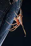 'Elephant' Spider (Poltys sp. - possibly Poltys idea) waiting in ambush in its web at night. Danum Valley, Sabah, Borneo.