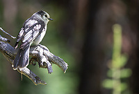 I often see Canada Jays (formerly known as Gray Jays) during my forest walks.