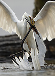 UK: Egrets in battle by Simon Barrett