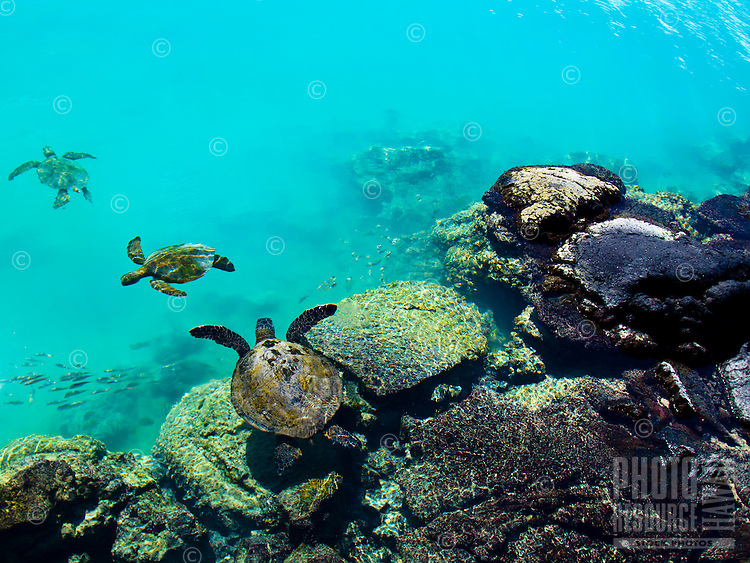 Three turtles swim at Kiholo Bay on the Big Island.
