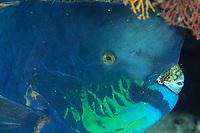 Knobsnout parrotfish, Scarus ovifrons, Futo, Sagami bay, Izu peninsula, Shizuoka, Japan, Pacific Ocean