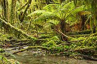 Native rainforest with tree fern, moss and stream, Westland Tai Poutini National Park, UNESCO World Heritage Area, West Coast, New Zealand, NZ