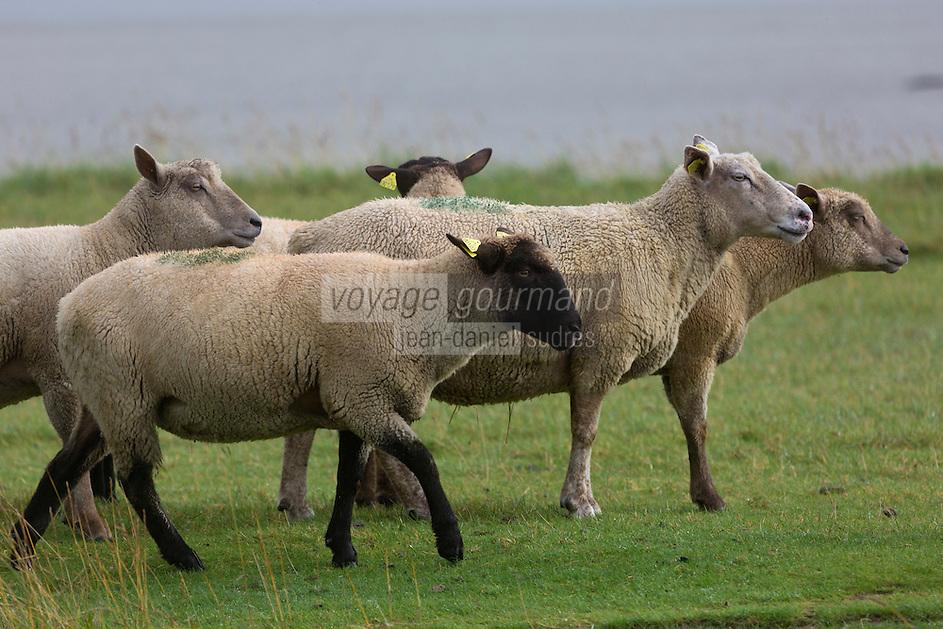 Europe/France/Basse-Normandie/50/Manche/Baie du Mont-Saint-Michel/Bas-Courtils:   moutons de pré-salé   //  France, Manche, Bay of Mont Saint Michel, Bas-Courtils:  tidal marsh meadows sheep