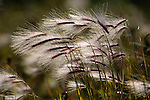 Fox-tail Grass (Alopecurus sp.) in flower (late Sept.) blowing in the breeze. Shores of Hudson Bay, Manitoba, Canada.