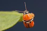A Case-bearing Leaf Beetle (Griburius larvatus) perches on a leaf in Highlands Hammock State Park, Sebring, Florida.