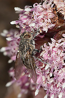 Polsterfliege, Polster-Fliege, Schmeißfliege, Blütenbesuch auf Pestwurz, Pollenia spec., Calliphoridae, Schmeißfliegen, Fleischfliege, Fleischfliegen, cluster fly, Cluster flies, blowfly