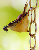 Carolina wren with spider for the babies