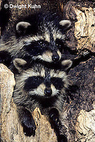 MA25-081z   Raccoon - young raccoon in hollow tree cavity - Procyon lotor