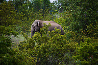 A wild elephant, apparently the leader of its herd, in the forests just outside the village of Nyaung Oo. As they pass closer to human territory, the herd of six wild elephants was chased away by a crowd.