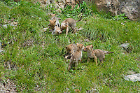 Wild Coyote (Canis latrans) pups playing while waiting for mom to return with food (adult can be gone from the den area for hours).  Western U.S., June.