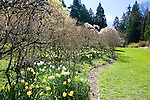 Washington Park Arboretum's gardens provide peace and tranquility in the city.  Seattle, Washington.  Early daffodiles line the trail before azaleas and mixed disiduous shrubery leaf out in spring.