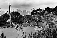 Australia. New South Wales. Sydney. Zoo. Three giraffes in the zoo. View on the City Center, Sydney Central Business District (CBD), the Sydney Opera House and the Harbour bay. The giraffe (Giraffa) is an artiodactyl mammal, the tallest living terrestrial animal and the largest ruminant.  13.3.99  © 1999 Didier Ruef