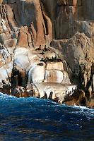Australian Fur Seals on the Hippolyte Rocks, Tasman Peninsula, Tasmania