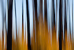 Abstract view of a regenerating burned forest during autumn in the Kaibab National Forest, Arizona