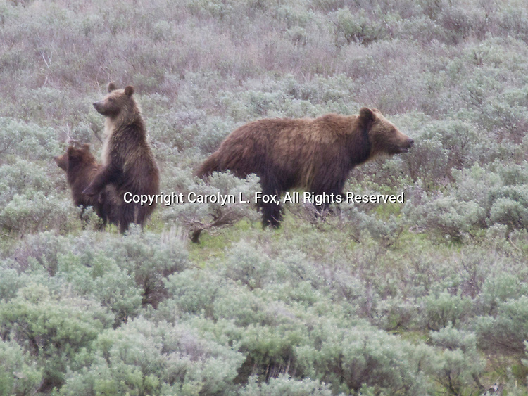 A grizzly bear sow and her two cubs walk through the sagebrush in Yellowstone National Park.