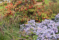 Autumn fall garden of Aster oblongifolius Raydon's Favorite similar to October Skies, Viburnum in berry and Pennisetum ornamental grass seed heads at the New York Botanical Garden, Bronx, NY aka more properly Symphyotrichum oblongifolium