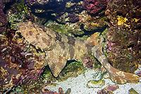 Ornate Wobbegong Shark (Orectolobus ornatus) Sometimes refered to as a Carpetshark. (c) (do)