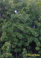 0116-08ww  Pair of Black-crowned Night Heron Resting in Tree Black-crowned Night Heron - Nycticorax nycticorax © David Kuhn/Dwight Kuhn Photography