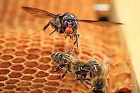 A hornet attacks the bees on a wax frame when the beekeeper opens the hive. ///L'attaque d'un frelon sur des abeilles sur un cadre de cire lors de l'ouverture d'une ruche par un apiculteur.
