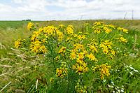 Field margin with flowering ragwort - Lincolnshire, July