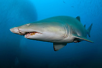 Sand Tiger Shark (Carcharias taurus) on the wreck of the Caribsea, a freighter sunk during WWII by a German submarine, in the Outer Banks of North Carolina, USA, Atlantic Ocean