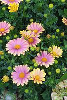 Osteospermum 'Bella' aka Sunny Bella, in pink colors