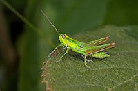 Kleine Goldschrecke, Euthystira brachyptera, Chrysochraon brachyptera, Small Gold Grasshopper