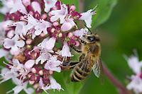 Honigbiene, Honig-Biene, Europäische Honigbiene, Westliche Honigbiene, Biene, Bienen, Apis mellifera, Apis mellifica, Blütenbesuch auf Wilder Dost, Oregano, Nektarsuche, Blütenbestäubung, honey bee, hive bee, western honey bee, European honey bee, bee, bees, L'abeille européenne, l'avette, la mouche à miel