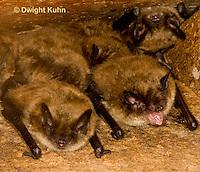 MA20-543z  Little Brown Bats, Myotis lucifugus