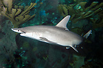 Bonnethead shark swimming 45 degrees to camera facing left over shallow coral reef.