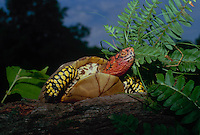 Box turtle climbing over log with fern