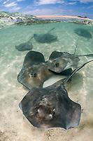 southern stingray, Hypanus americanus (formerly Dasyatis americanus), Over under at Gun Cay, Honeymoon Harbour, Bimini, Bahamas, Caribbean Sea, Atlantic Ocean
