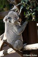 0802-1005  Koala, Phascolarctos cinereus © David Kuhn/Dwight Kuhn Photography