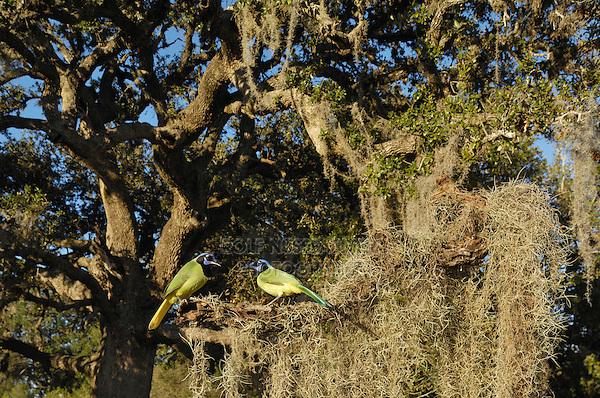 Green Jay (Cyanocorax yncas), group in Spanish moss (Tillandsia usneoides) covered Live Oak tree (Quercus virginiana), Dinero, Lake Corpus Christi, South Texas, USA